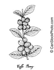 Hand Drawn of Ripe Coffee Berries on Branch - Tropical...