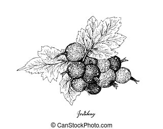 Hand Drawn of Ripe Jostaberries on White Background