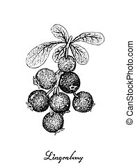 Hand Drawn of Ripe Lingonberries on White Background