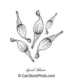 Hand Drawn of Squash Blossoms on White Background -...