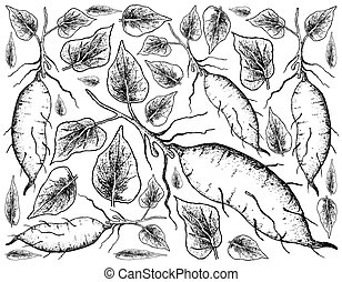 Hand Drawn of Sweet Potato on White Background - Root and...