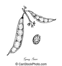 Hand Drawn of Tepary Bean Podss on White Background