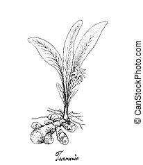 Hand Drawn of Turmeric Plant on White Background