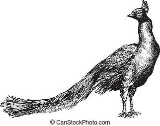 hand drawn peacock illustration
