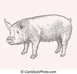 Hand drawn pig - Hand drawn illustration of pig