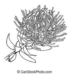 Hand drawn Protea vector