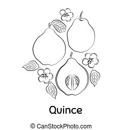 Hand drawn Quince. Vector Illustration EPS. Isolated ...