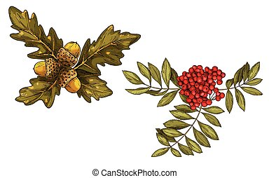Hand-drawn rowan branch with red berries and oak leaves and acorns isolated on white background. Vector
