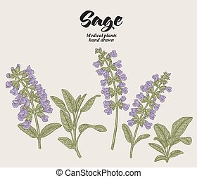 Hand drawn Salvia officinalis flowers and leaves. Sage ...