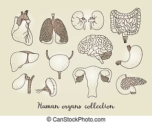 Hand drawn set of human internal organs, vector anatomy collection