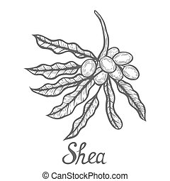 Shea nuts plant - Hand drawn Shea nuts plant, berry, fruit...