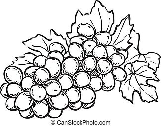 hand drawn sketch grapes illustration
