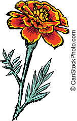 marigold - hand drawn, sketch illustration of marigold