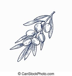 hand drawn sketch of olive branch with olives on a white background