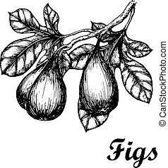 Hand drawn sketch with figs branch. Eco foods. Vector illustration