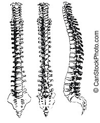 hand drawn spinal segments