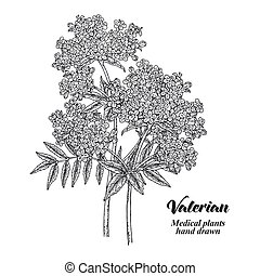 Hand drawn Valerian with leaves and flowers isolated on white background. Medical herbs. Vector illustration engraved.