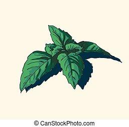 hand drawn vintage illustration of mint leaf