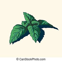 hand drawn vintage illustration of mint leaf