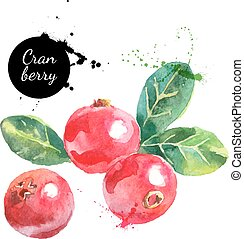 Hand drawn watercolor cranberry painting on white...
