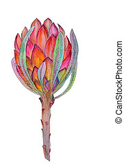 Hand-drawn watercolor illustration of red protea flower