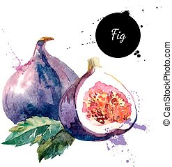 Hand drawn watercolor painting fruit fig on white background...