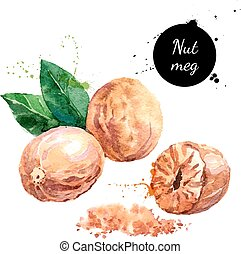 Hand drawn watercolor painting nut on white background. ...