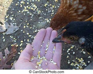hand fed chickens - cute baby chickens eating out of a hand...