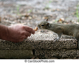 a squirrel eating a peanut from a human hand.