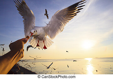 hand feeding food to sea gull while flying hovering with sun...