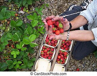 hand full fresh red strawberries, Indian Garden Farm Bridgewater Lunenburg County Nova Scotia