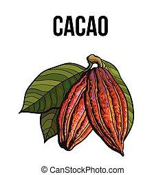 hand, gezeichnet, reif, kakao, fruechte, hängen, a, zweig