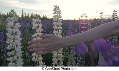Hand girl touches purple flowers in a beautiful field at sunset. Slow motion