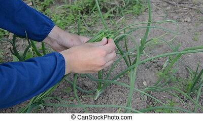 hand green onion pick - Closeup of hands pick green natural...
