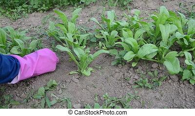 Gardener woman girl hands in rubber gloves grub up weeds between marigold calendula plants in garden.