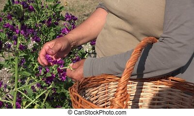 hand harvest of purple flowers