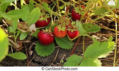 Hand harvested strawberries - Female hand harvested ripe...