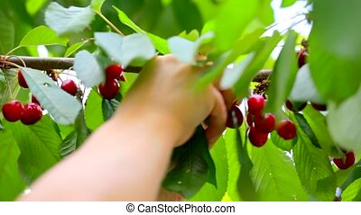 hand harvests the sweet cherry