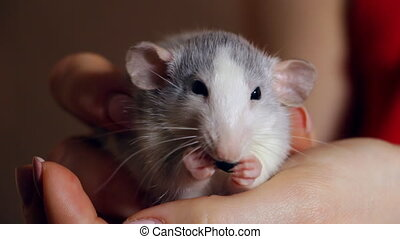 Hand-held rat sits on his hands and eats - A domestic...