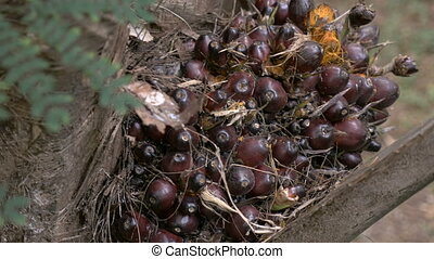 Hand held shot of palm berries for palm oil on a palm tree -...