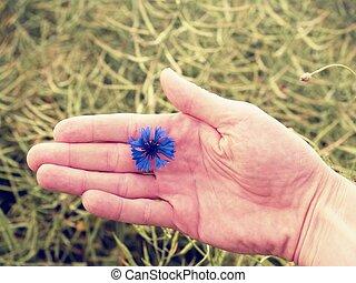 Hand hold blue cornflower in blossom. Green ripe oilseed field