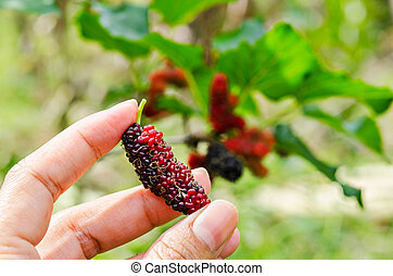 Hand hold fresh ripe black and red mulberry.