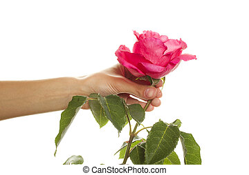 Hand holding a beautiful rose