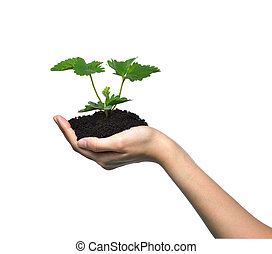 Hand holding a green young plant isolated on white background