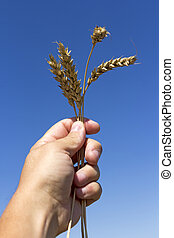 hand holding ears of wheat against blue sky