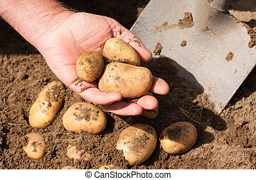 Hand holding fresh potatoes - Hand holding potateos just dug...