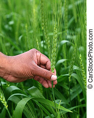 Hand holding green wheats in a field