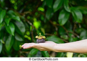 Hand holding mangosteen fruit.