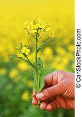 Hand holding mustard flowers