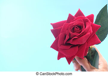 hand holding rose flower on blue background